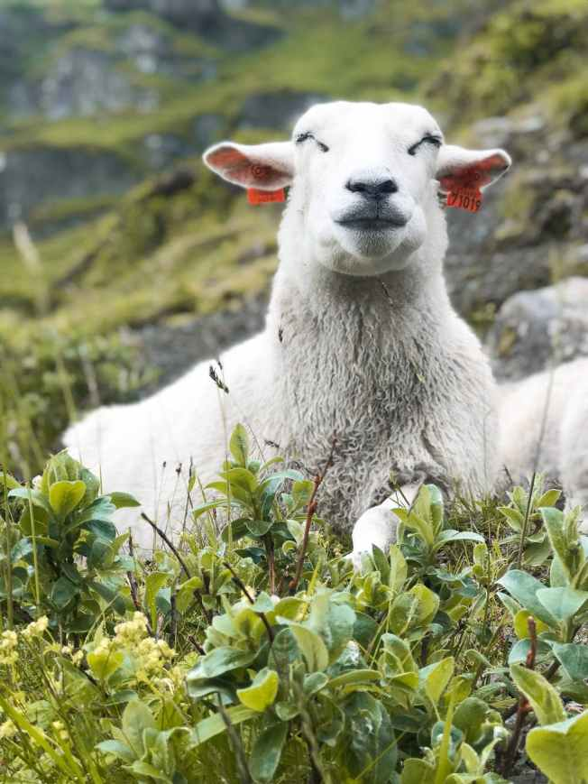 white sheep on plant field